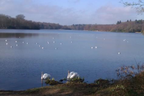 virginia water swans