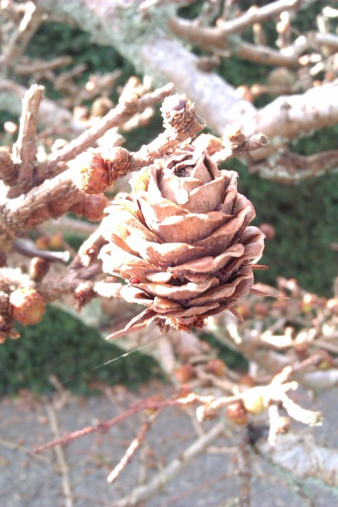 fir cone on bonsai tree