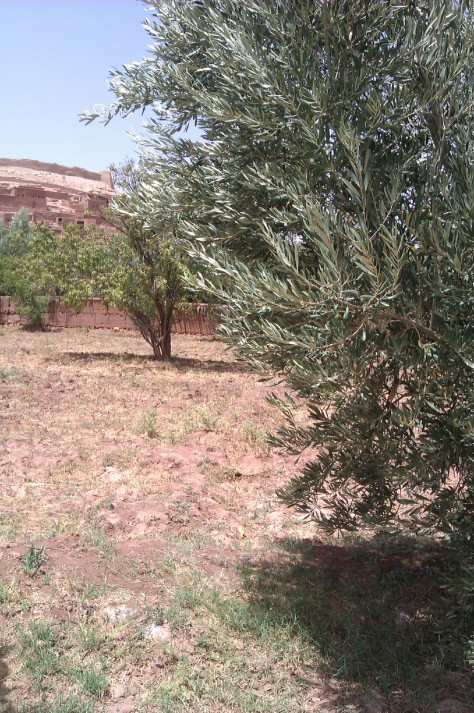 olive and argan tree