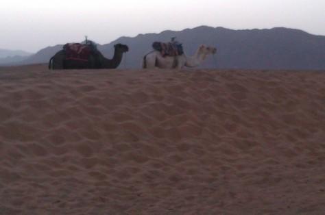 desert dromedaries